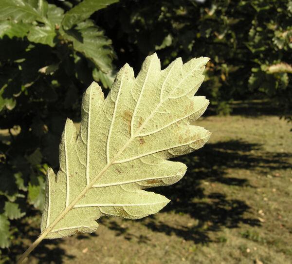 Sorbus x thuringiaca (Ilse) Fritsch