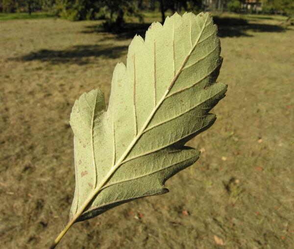 Sorbus austriaca (Beck) Hayek