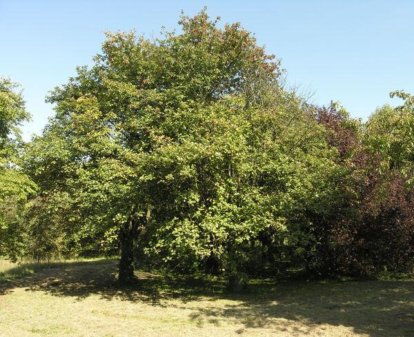 Sorbus hybrida (L.) L.