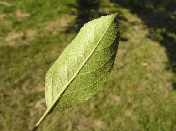 Malus sieboldii (Regel) Rehder