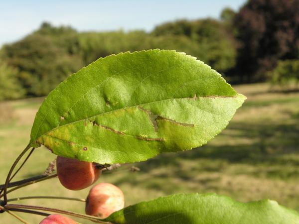 Malus prunifolia (Willd.) Borkh.