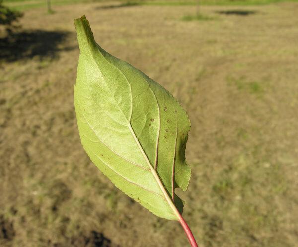 Prunus mume (Siebold) Siebold & Zucc.