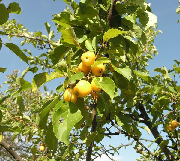 Prunus x robusta (Carrière) Rehder