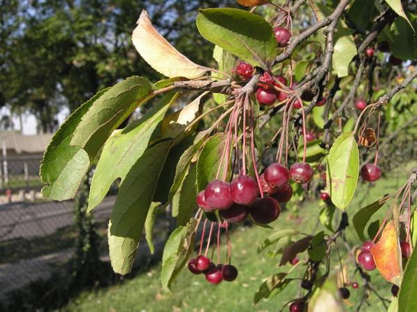 Malus baccata (L.) Borkh. var. mandshurica (Maxim.) C. K. Schneid.