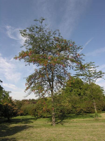 Gleditsia sinensis Lam.