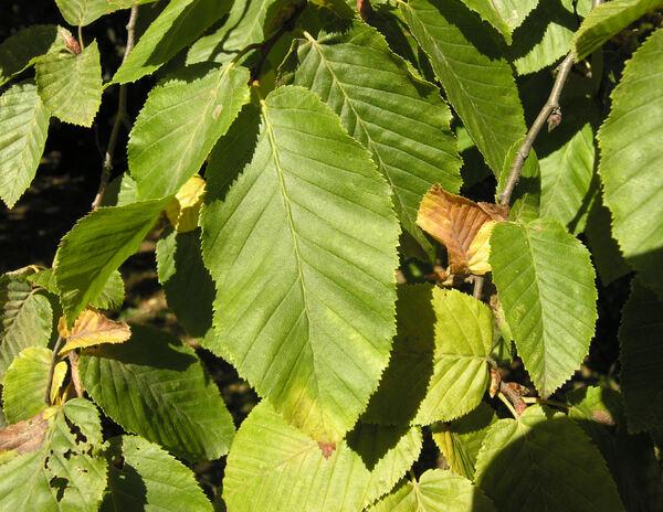 Carpinus betulus L. 'Pendula'