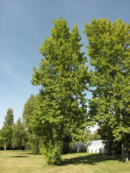 Populus x berolinensis Dippel.