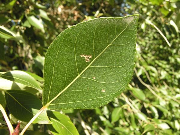 Populus simonii Carrière 'Fastigiata'