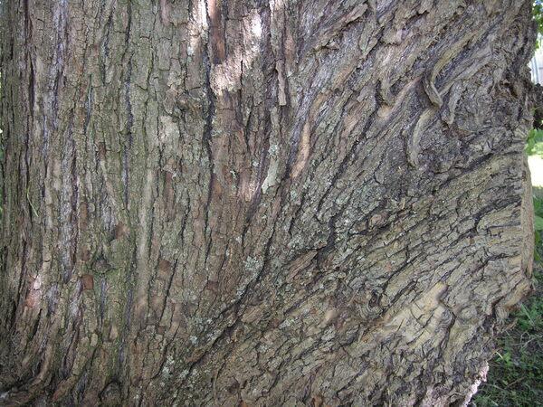 Populus szechuanica C. K. Schneid. var. tibetica C. K. Schneid.