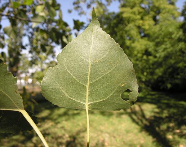 Populus deltoides W.Bartram ex Marshall