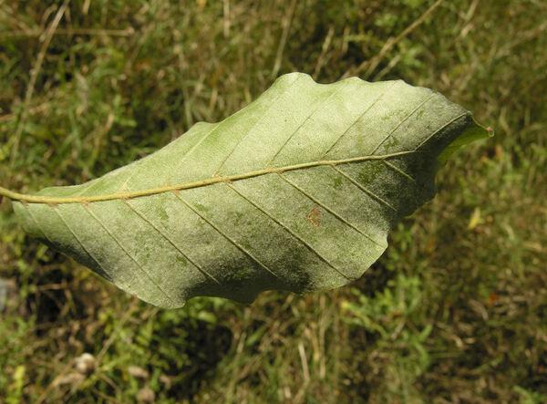 Fagus taurica Popl.