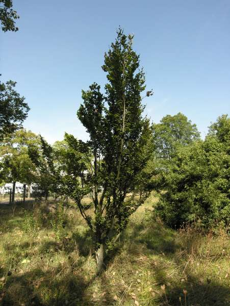 Fagus sylvatica L. 'Rotundifolia'