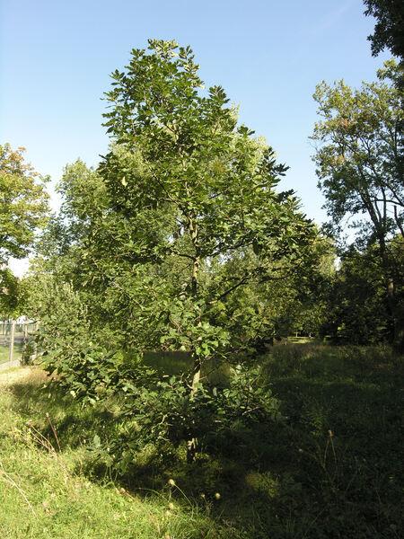 Quercus macranthera Fisch. & C. A. Mey. ex Hohen.