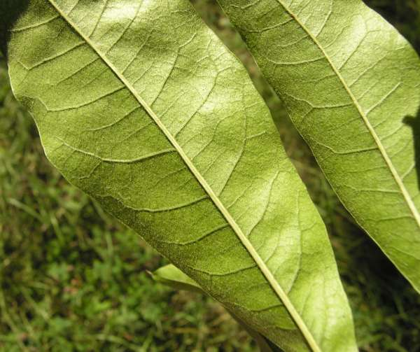 Quercus imbricaria Michx.