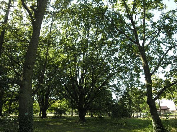 Quercus americana J.V.Suringar