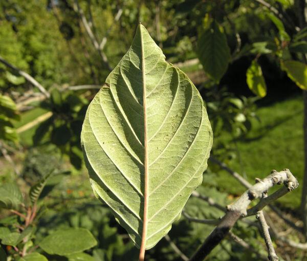 Frangula alnus Mill. subsp. alnus