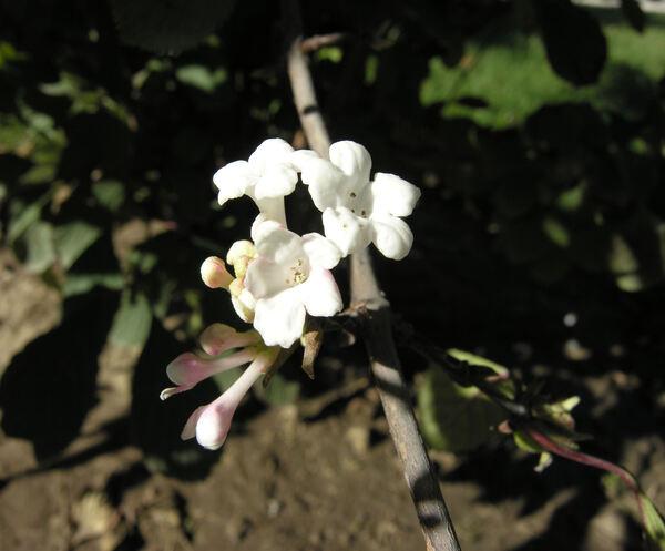 Viburnum fragrans Bunge