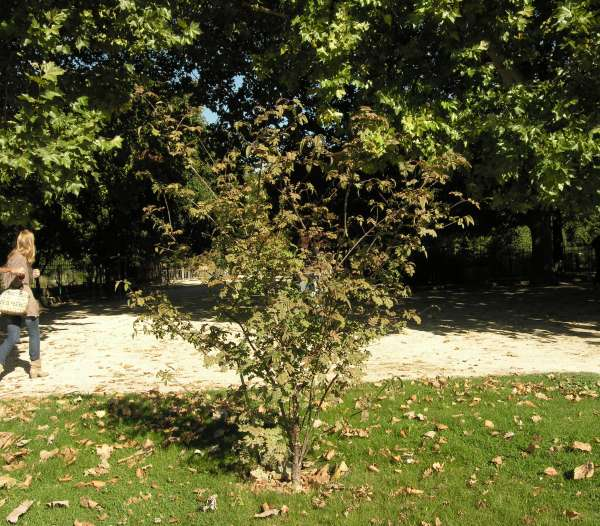 Syringa pinnatifolia Hemsl.