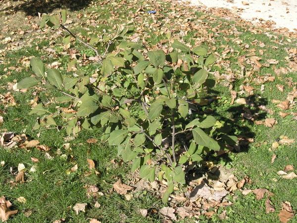 Syringa yunnanensis (Franch.) P. S. Green