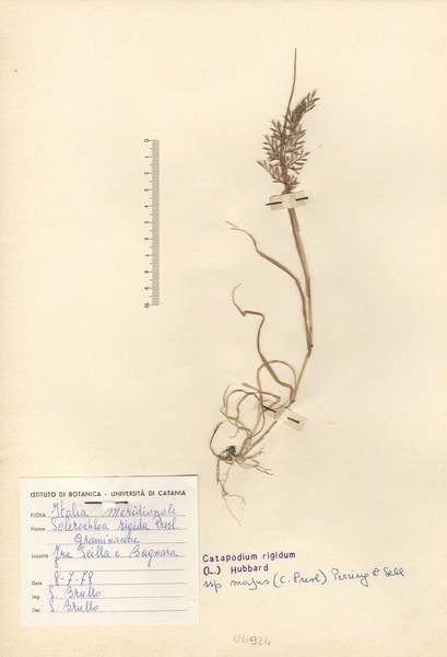 Catapodium rigidum (L.) C.E.Hubb. subsp. majus (C.Presl) F.H.Perring & P.D.Sell