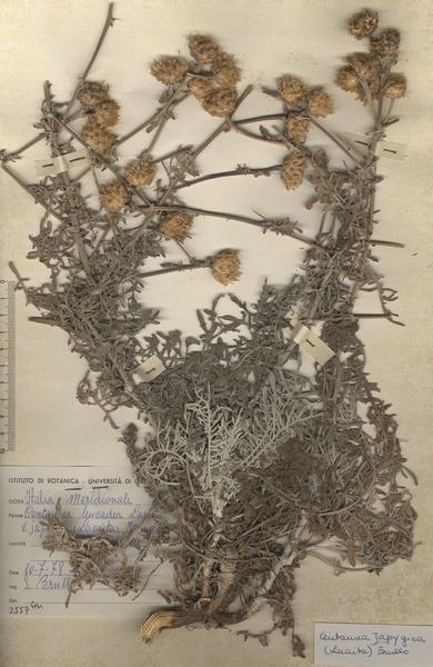 Centaurea iapygica (Lacaita) Brullo