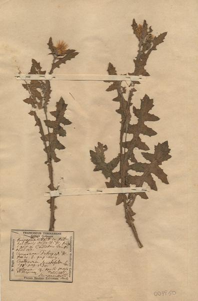 Centaurea seridis L. subsp. sonchifolia (L.) Greuter