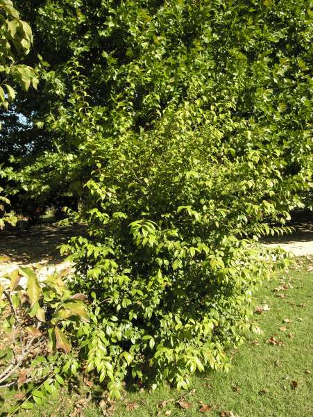 Chimonanthus nitens Oliv.