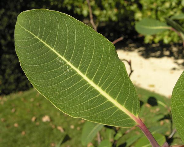 Salix magnifica Hemsl.