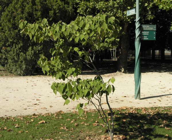 Mallotus apelta Muell.