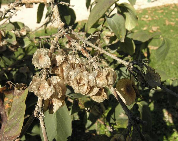Dipelta floribunda Maxim.