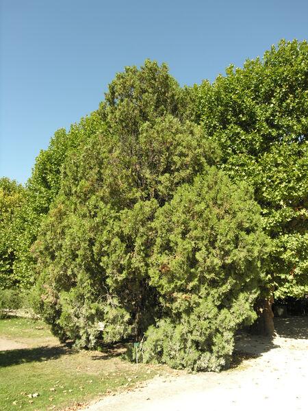 Platycladus orientalis (L.) Franco 'Elegantissima'