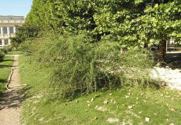 Buddleja alternifolia Maxim.
