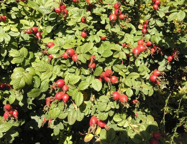 Rosa rubiginosa L.