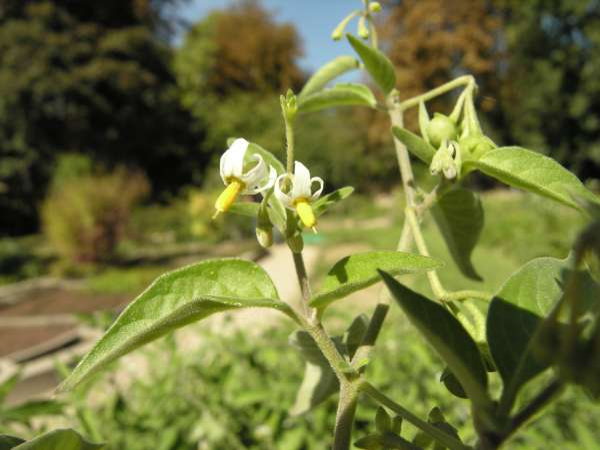 Solanum chenopodioides Lam.