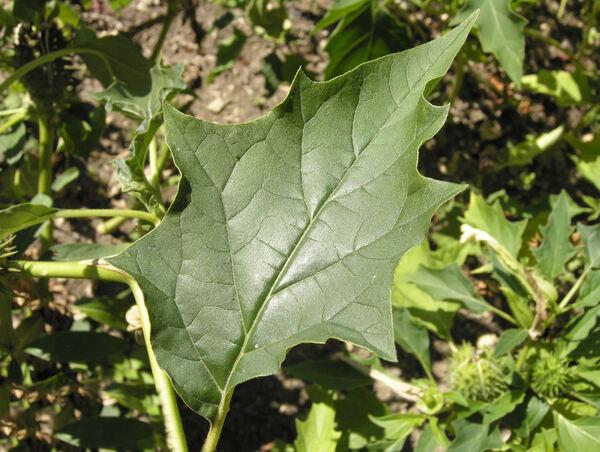 Datura stramonium L.