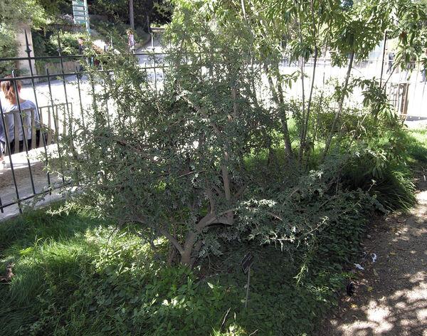 Mahonia haematocarpa (Woot.) Fedde