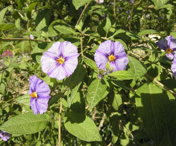 Lycianthes rantonnetii (Carrière) Bitter