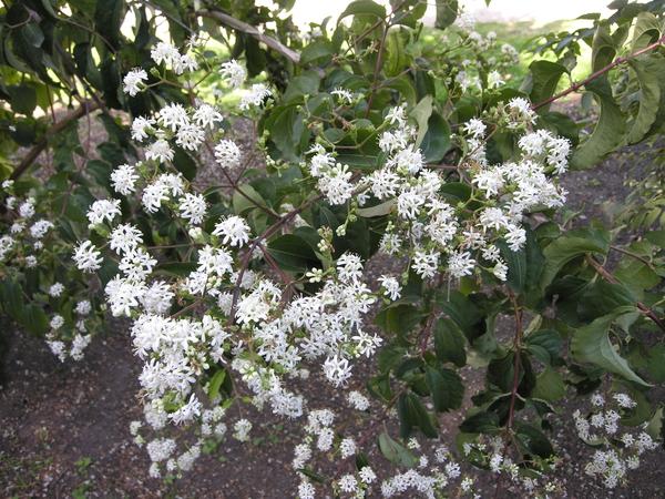 Heptacodium miconioides Rehd.
