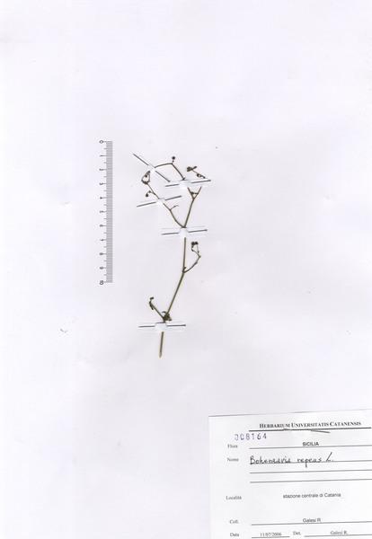 Boerhavia repens L. subsp. repens