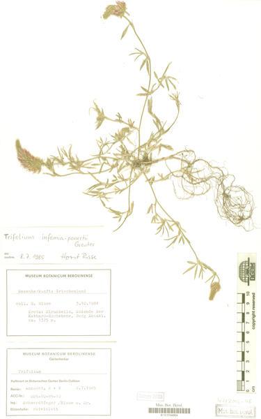 Trifolium infamia-ponertii Greuter