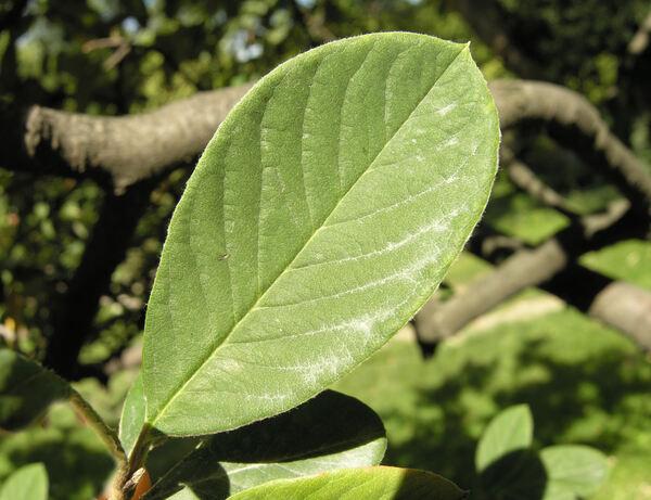 Cotoneaster coriaceus Franch.