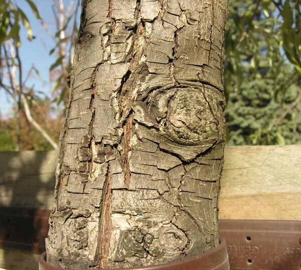 Pyrus salicifolia Pall.