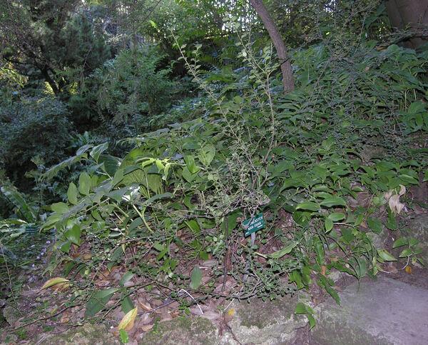 Cotoneaster nanshan M.Vilm. ex Mottet