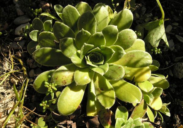 Saxifraga cotyledon L.