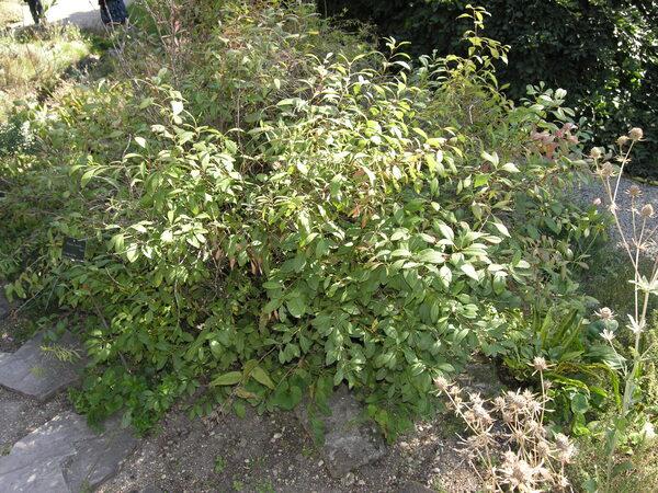 Prunus tenella Batsch.