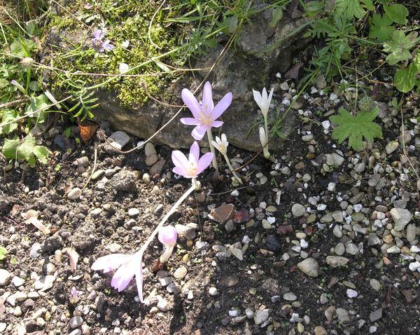 Colchicum laetum Steven