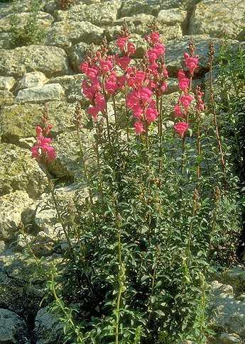Antirrhinum majus L. subsp. tortuosum (Bosc. ex Lam.) Rouy