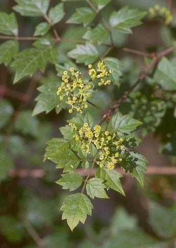 Vitis orientalis Boiss.