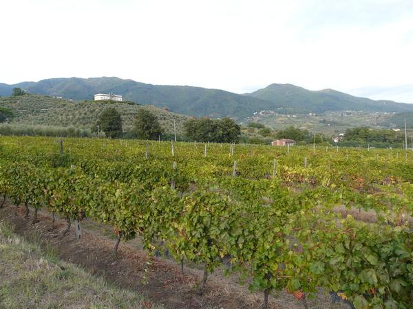 Vitis vinifera L.