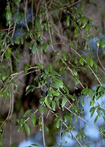 Schinus spinosus Engl.